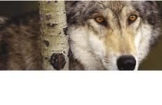El llop babau i la guineu eixerida
